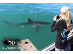Channing Egeberg photographing a white shark Credit Support Our Sharks