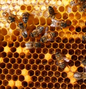 honey-comb-bees-289x300.jpg