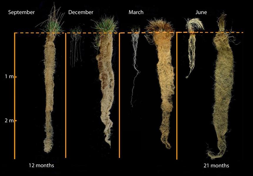 wheatgrass-growth