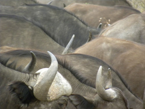 Buffalo_horns.jpg