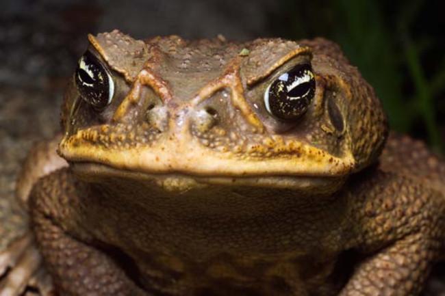 cane-toad.jpg