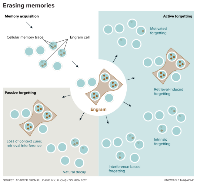 """When memories are acquired (upper left), traces of the memory are stored by molecular changes in networks of cells, forming an engram. Memories stored in engrams can be forgotten """"passively"""" by different processes (lower left), such as loss of contextual cues permitting retrieval of the memory, interference with retrieval by other similar memories, or simply the decay of unstable biological materials in the engram cells. Some researchers believe """"active"""" forgetting may be more potent at erasing memory than the passive mechanisms. Several forms of active forgetting have been proposed, including intentional attempts to suppress unpleasant memories (motivated forgetting); forgetting of some parts of a memory by retrieval of other parts; decay of memory induced by interference from other information processing; and """"intrinsic"""" forgetting — erasure of information by cells and biochemical processes as an essential part of the brain's memory apparatus for managing information efficiently."""