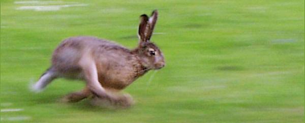 Running_rabbit.jpg