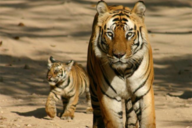 A_tiger_in_Pilibhit_Tiger_Reserve.jpg