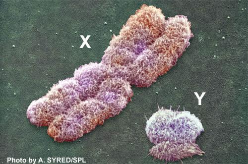 Y-chromosome.jpg