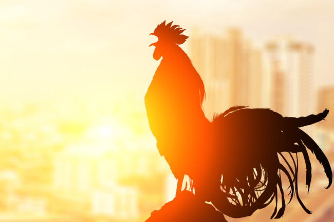 Roosters have built-in earplugs that shut off their ears when they crow. Because of course they do. Photo Credit: Little Perfect Stock/Shutterstock