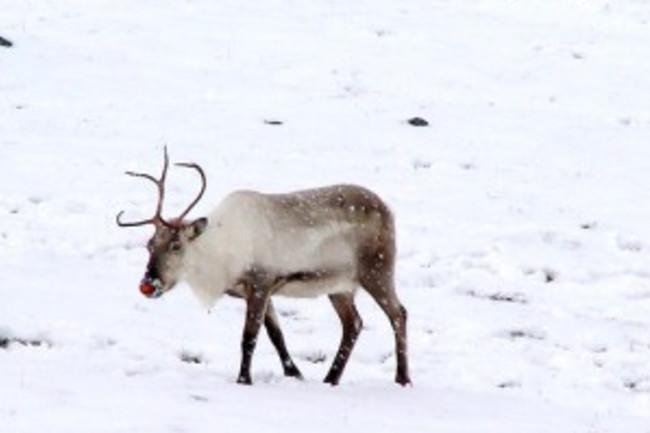 reindeer-300x225.jpg