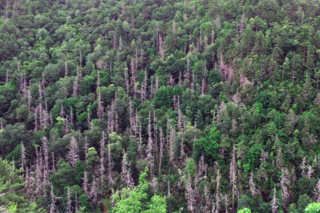Hemlock-Forest