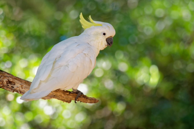 Sulfur-Crested Cockatoo - Shutterstock