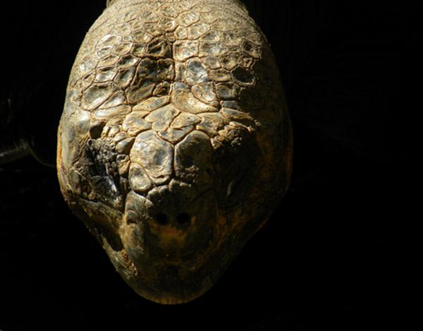 Giant_tortoise.jpg
