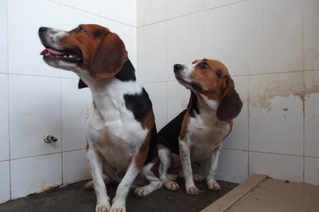 beagles_gene_editing-1024x768.jpg