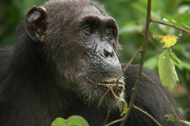 chimp-goodall-300.jpg