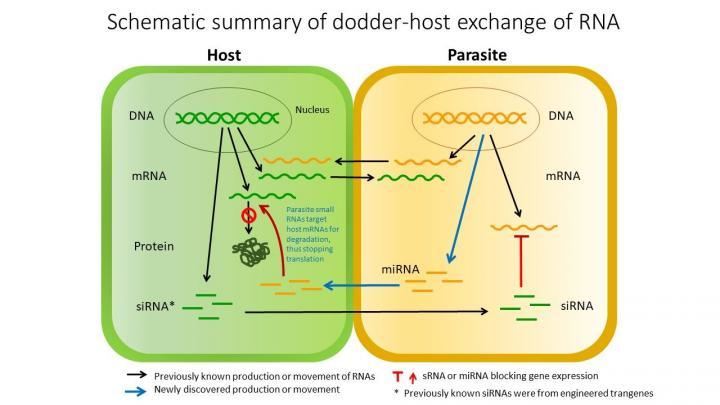 parasite_host_miRNA.jpg