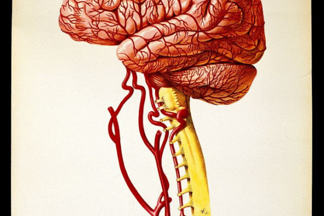 Brain_lateral_view._Colour_lithograph_by_Brocades_Great_Bri_Wellcome_V0018378-706x1024.jpg