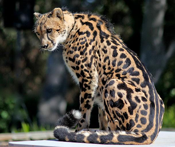 King-cheetah.jpg