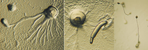Dictyostelium-life-cycle.jpg