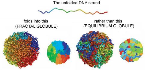 Fractal-globule.jpg