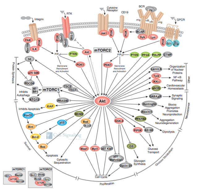 Akt and its many signaling receptors and targets, from Cell Signaling Technology
