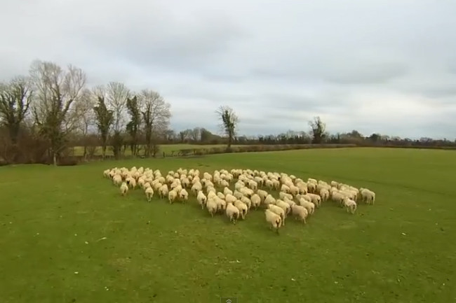 sheepherding.jpg