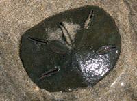 Sanddollar.jpg