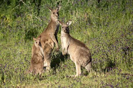 kangaroocowmethane.jpg