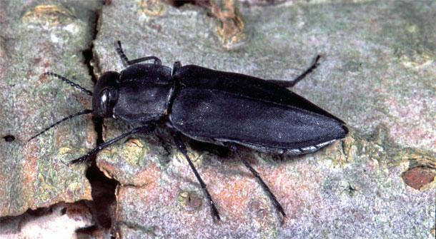 Melanophila.jpg