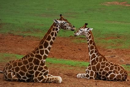 giraffes425.jpg