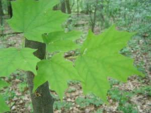 leafsnap-300x225.jpg