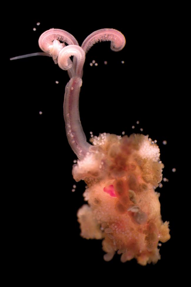 Osedax snotworm