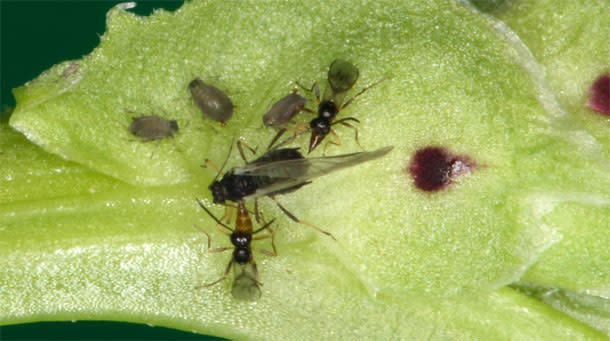 Wasps_aphids.jpg