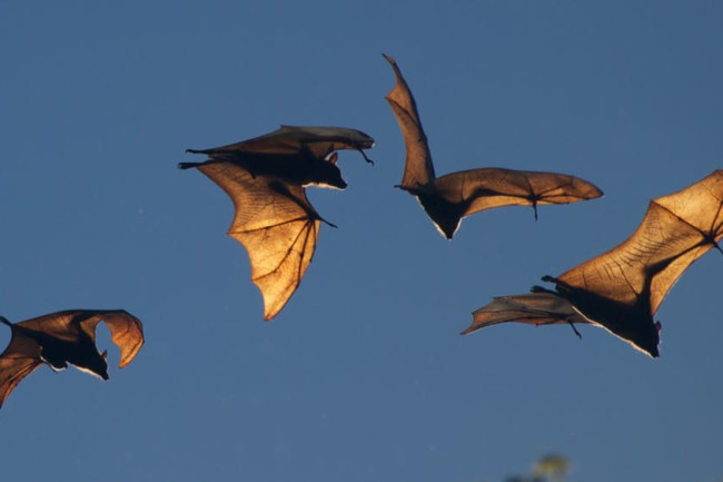 bats flying - flickr CC BY 4.0