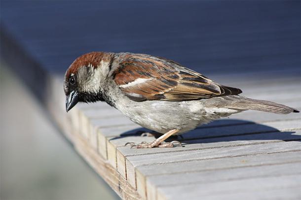 House_sparrow.jpg