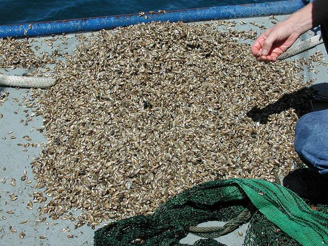 quagga-mussels