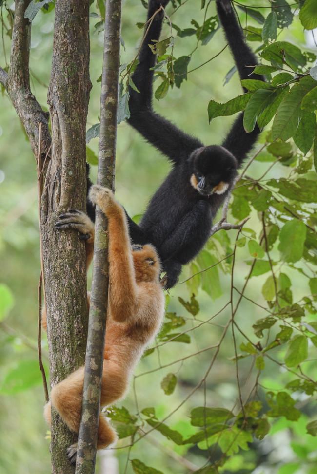 Southern Yellow Cheeked Gibbon - Dmitry Ivanov