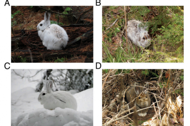 snowshoe-hares-1024x729.png