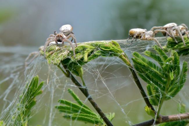 Colonial_Spiders_Stegodyphus_dumicola_6607373097-1024x576.jpg