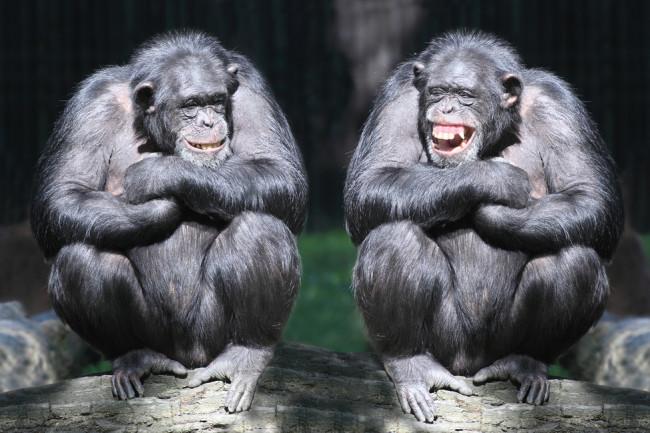 chimpanzees on a branch