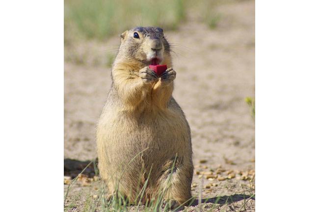 Prairie Dog - USGS