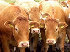 cows-300x225.jpg