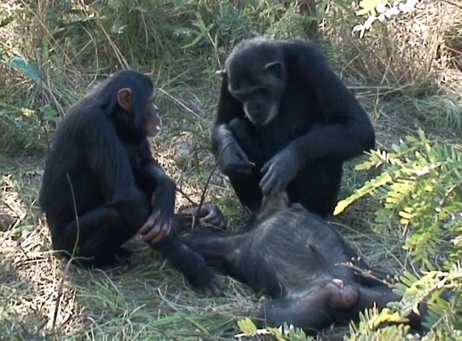 Chimps Mourning Death - Scientific Reports
