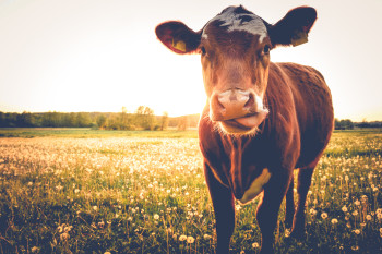 Feeding Seaweed to Cows Could Curb Their Methane-Laden Burps