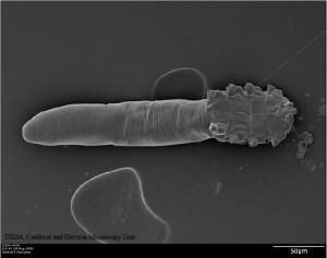 D. folliculorum. Image by USDA Confocal and Electron Microscopy Unit