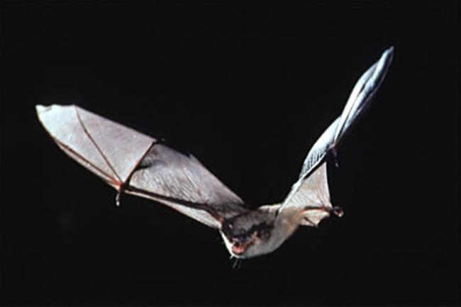 Bat - USFWS