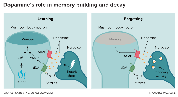 """Fruit flies remember to fear an odor if its presence is accompanied by an electric shock. That memory forms because the shock stimulates the release of the molecule dopamine from nerve cells linked to mushroom body neurons at the same time that the odor triggers a cellular signal (via calcium). When stimulated by dopamine, a """"molecular antenna"""" or receptor molecule (dDA1) on the mushroom body neuron initiates chemical reactions (via the cAMP signaling molecule) that restructure the mushroom body neuron, strengthening the memory. Recall fades over time as, in the absence of the odor, lower levels of dopamine stimulate another dopamine receptor molecule (DAMB), leading to a weakening of the memory."""