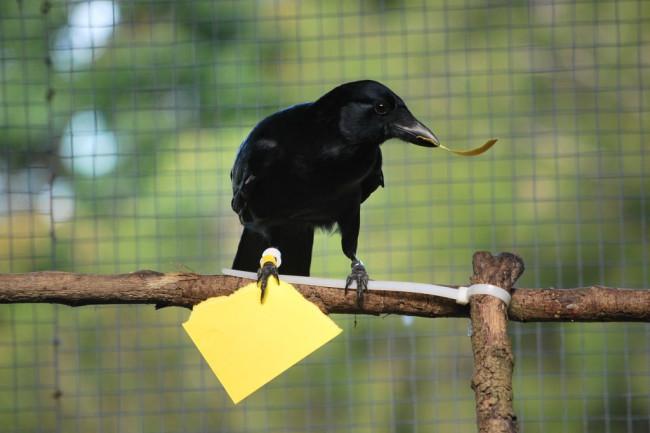 NC-crow-rips-a-card-tool-Credit-Sarah-Jelbert-1024x685.jpg