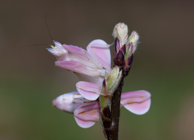 Orchid Mantis - Shutterstock