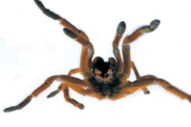 tarantula_2.jpg