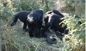 Chimps inspect the corpse of one of their group members