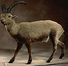 extinct-ibex.jpg