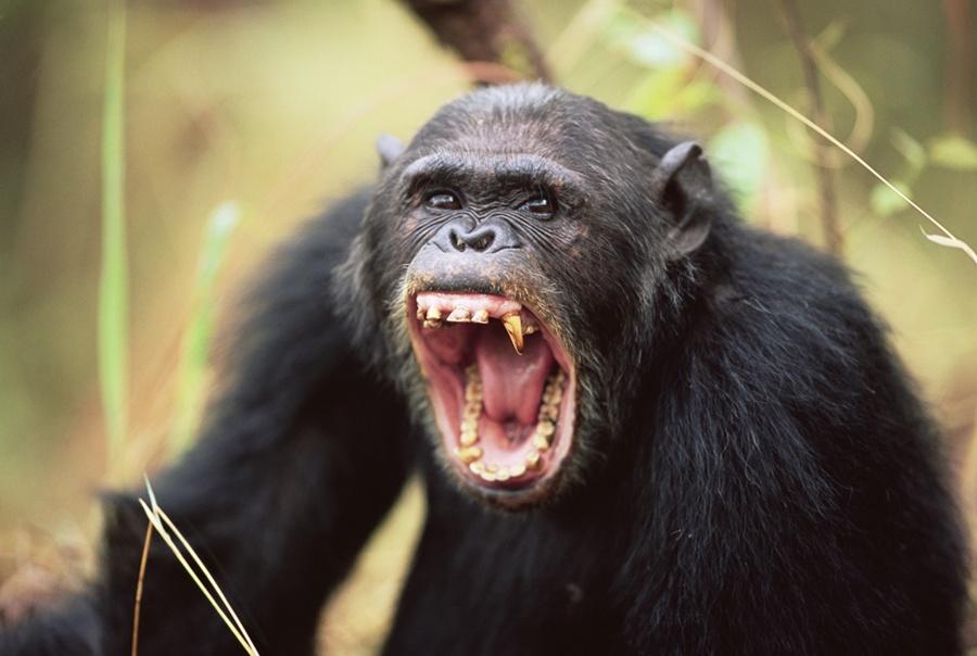 aggressive chimpanzee